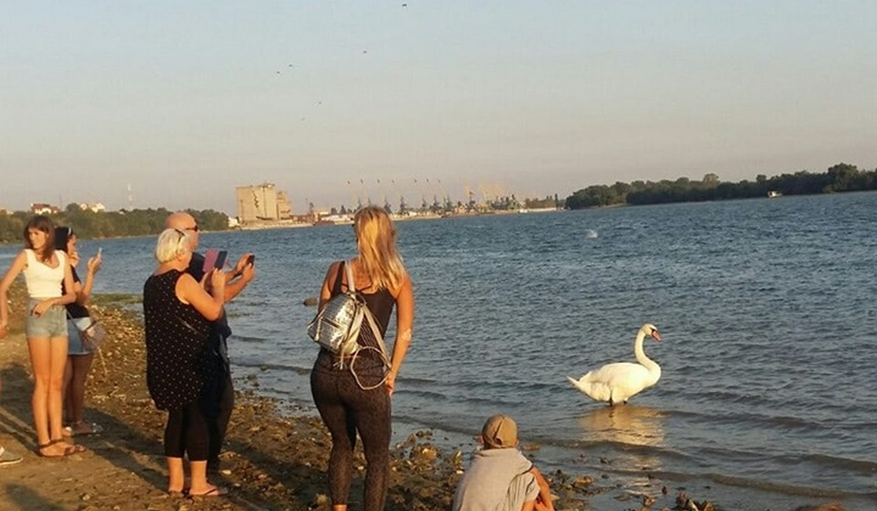 """На Дунае лебедь был живым """"аттракционом"""", и неоднократно за ним гонялись асоциальные елементы, желающие """"порезать птицу на шашлык""""."""