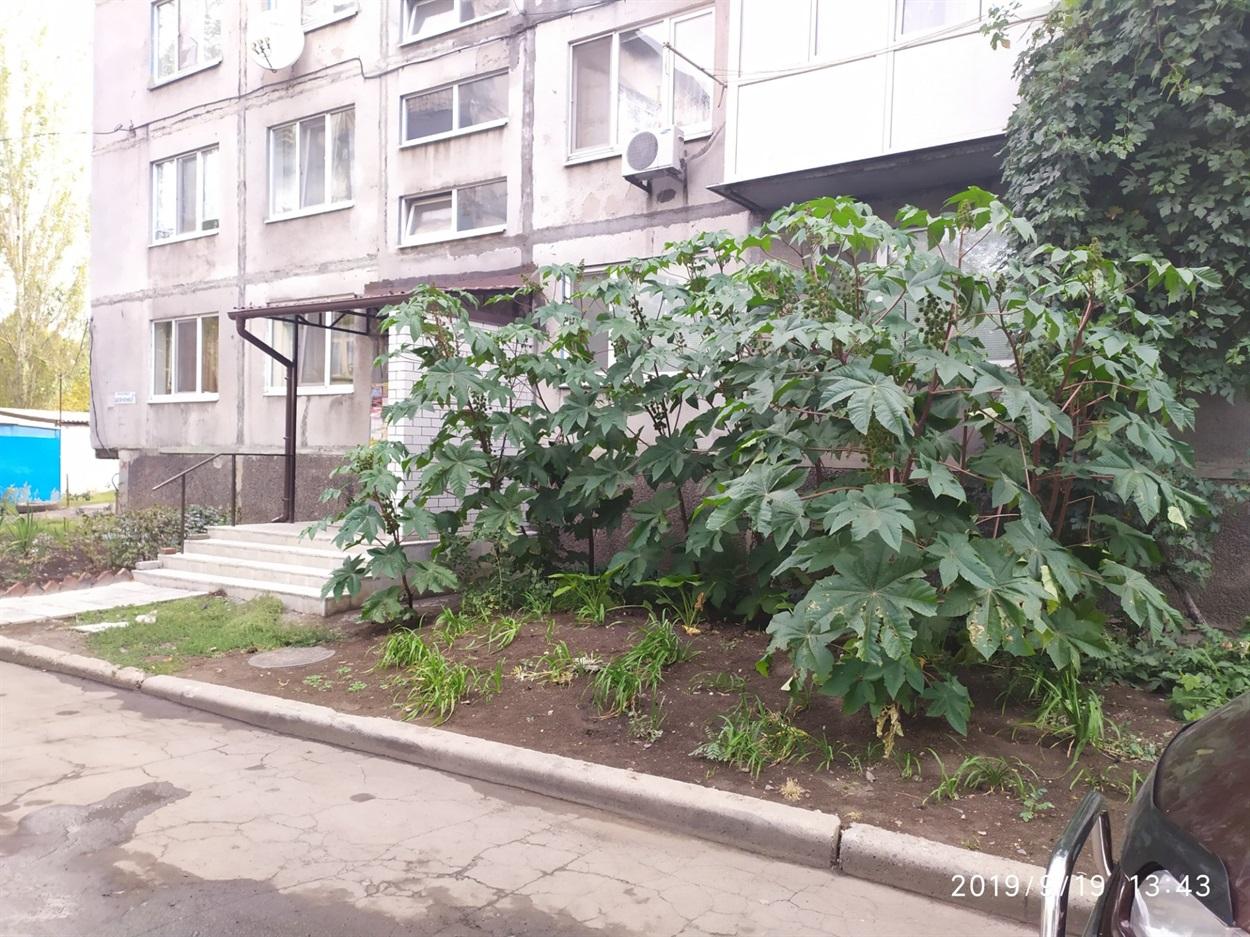Рицина біля будинку по вул. Шевченко, 11