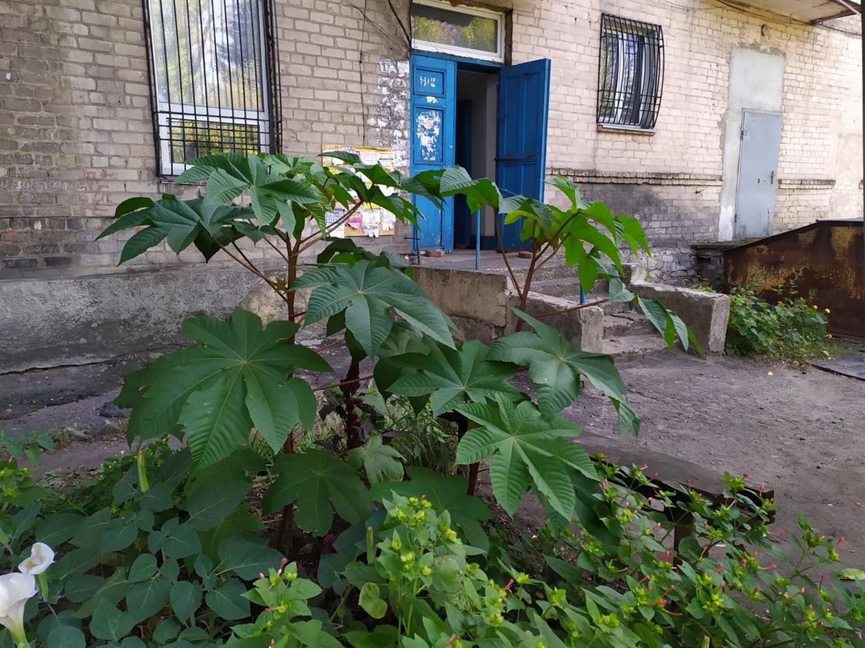 Кущ рицини біля будинку 20 по вул. Театральній