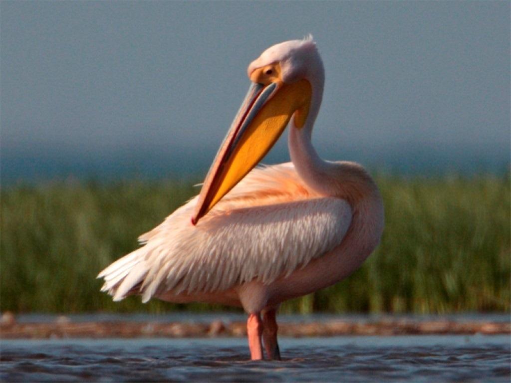 только влияет распечатать картинки розовый пеликан можно встретить